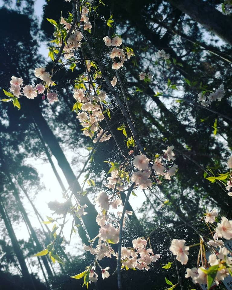 sakura cherry blossoms mochio park miyazaki japan kyushu