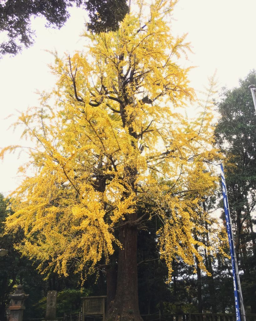 japanese big old sacred tree autumn momiji yellow coloured